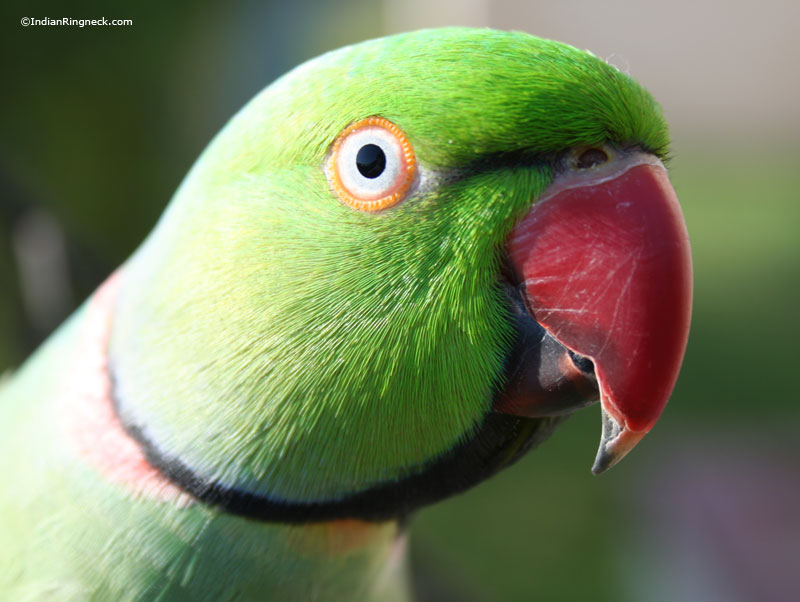 Indian Ringneck Photo Gallery | IndianRingneck.com