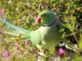 Archimedes-Green-Indian-Ringneck