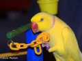 lutino-indian-ringneck2