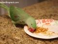 ringnecks-eating13
