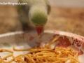 ringnecks-eating7