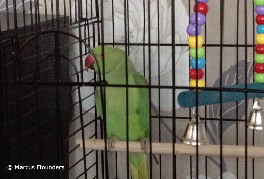 Green-Indian-Ringneck-In-Black-Cage1