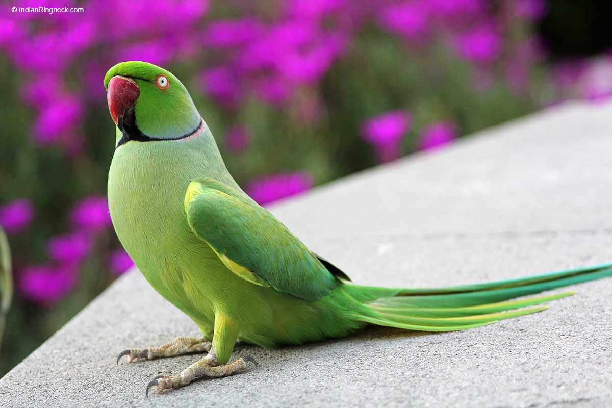 IndianRingneck.com | Learn About Your Feathered Family Member!